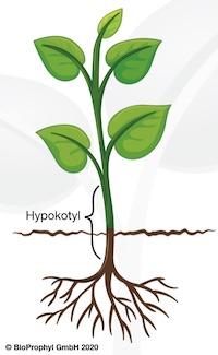 Pflanze mit Hypocotyl
