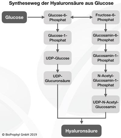 Syntheseweg Hyaluronsäure